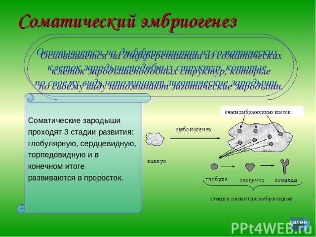 Соматический эмбриогенез Основывается на дифференциации из соматических клеток зародышеподобных структур, которые по своему виду напоминают зиготические зародыши. Соматические зародыши проходят 3 стадии развития: глобулярную, сердцевидную, торпедови…
