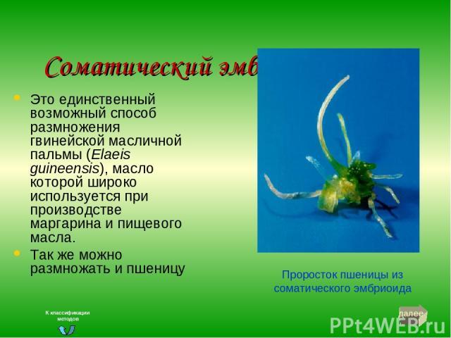 Соматический эмбриогенез Это единственный возможный способ размножения гвинейской масличной пальмы (Elaeis guineensis), масло которой широко используется при производстве маргарина и пищевого масла. Так же можно размножать и пшеницу Проросток пшениц…