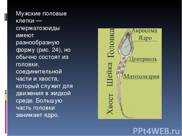 Мужские половые клетки — сперматозоиды имеют разнообразную форму (рис. 24), но обычно состоят из головки, соединительной части и хвоста, который служит для движения в жидкой среде. Большую часть головки занимает ядро.