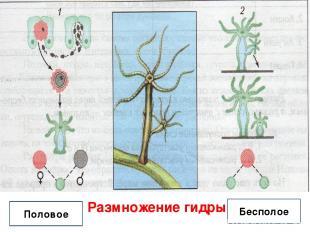Размножение гидры Половое Бесполое
