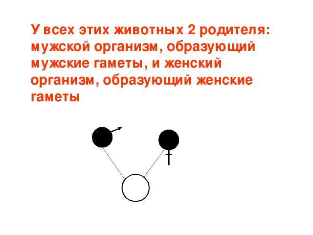 У всех этих животных 2 родителя: мужской организм, образующий мужские гаметы, и женский организм, образующий женские гаметы