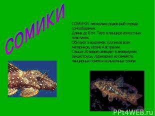 СОМИКИ, несколько родов рыб отряда сомообразных. Длина до 8 см. Тело в панцире и