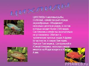 ЦИХЛИДЫ (цихловые рыбы, Cichlidae), семейство рыб отряда окунеобразных. Объединя