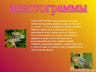 АПИСТОГРАММЫ (Apistogramma), род рыб семейства цихловых; размеры самца достигают