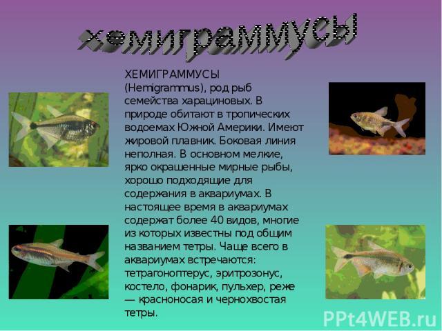 ХЕМИГРАММУСЫ (Hemigrammus), род рыб семейства харациновых. В природе обитают в тропических водоемах Южной Америки. Имеют жировой плавник. Боковая линия неполная. В основном мелкие, ярко окрашенные мирные рыбы, хорошо подходящие для содержания в аква…