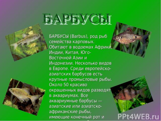 БАРБУСЫ (Barbus), род рыб семейства карповых. Обитают в водоемах Африки, Индии, Китая, Юго-Восточной Азии и Индонезии. Несколько видов в Европе. Среди европейско-азиатских барбусов есть крупные промысловые рыбы. Около 50 красиво окрашенных видов раз…