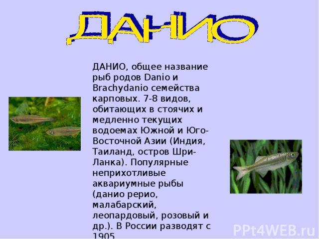 ДАНИО, общее название рыб родов Danio и Brachydanio семейства карповых. 7-8 видов, обитающих в стоячих и медленно текущих водоемах Южной и Юго-Восточной Азии (Индия, Таиланд, остров Шри-Ланка). Популярные неприхотливые аквариумные рыбы (данио рерио,…