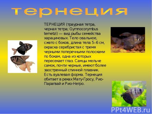ТЕРНЕЦИЯ (траурная тетра, черная тетра; Gymnocorymbus ternetzi) — вид рыбы семейства харациновых. Тело овальное, сжато с боков, длина тела 5–6 см, окраска серебристая с тремя черными поперечными полосками по бокам, одна из которых пересекает глаз. С…