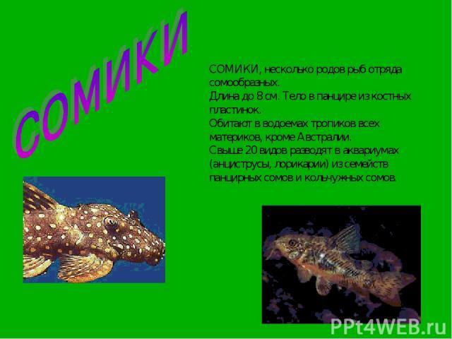 СОМИКИ, несколько родов рыб отряда сомообразных. Длина до 8 см. Тело в панцире из костных пластинок. Обитают в водоемах тропиков всех материков, кроме Австралии. Свыше 20 видов разводят в аквариумах (анциструсы, лорикарии) из семейств панцирных сомо…