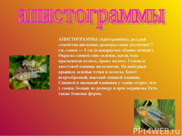 АПИСТОГРАММЫ (Apistogramma), род рыб семейства цихловых; размеры самца достигают 7 см, самки — 5 см (в аквариумах обычно меньше). Окраска самцов сине-зеленая, вдоль тела красноватая полоса, брюхо желтое. Голова и хвостовой плавник желтоватые. На жаб…