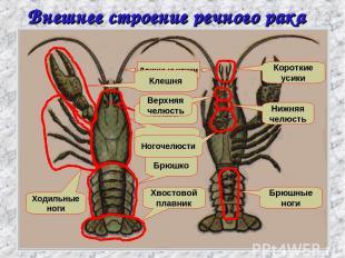 Внешнее строение речного рака Головогрудь Брюшко Хвостовой плавник Ходильные ног
