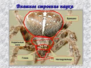 Внешнее строение паука крестовика Головогрудь Брюшко Глаза Ходильные ноги Ногощу