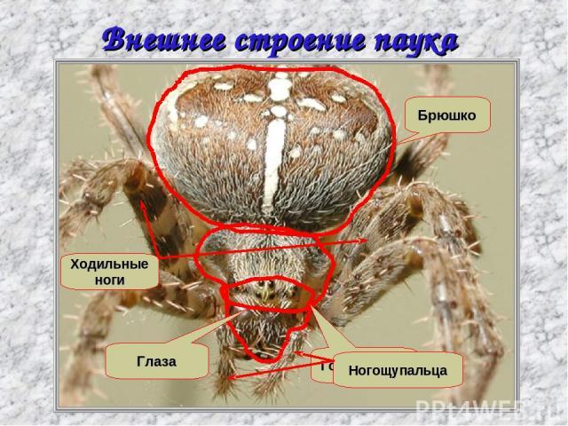 Внешнее строение паука крестовика Головогрудь Брюшко Глаза Ходильные ноги Ногощупальца