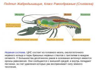 Нервная система. ЦНС состоит из головного мозга, окологлоточного нервного кольца