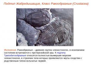 Подтип Жабродышащие, Класс Ракообразные (Crustacea) Филогения. Ракообразные – др