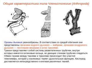 Общая характеристика типа Членистоногие (Arthropoda) Органы дыхания разнообразны