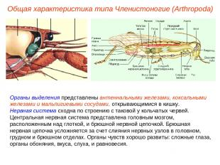 Органы выделения представлены антеннальными железами, коксальными железами и мал