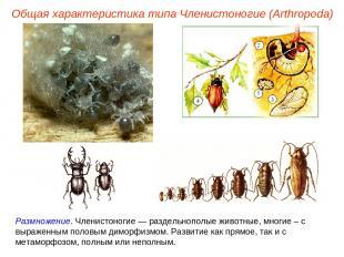 Размножение. Членистоногие — раздельнополые животные, многие – с выраженным поло