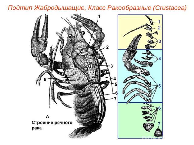 Подтип Жабродышащие, Класс Ракообразные (Crustacea)