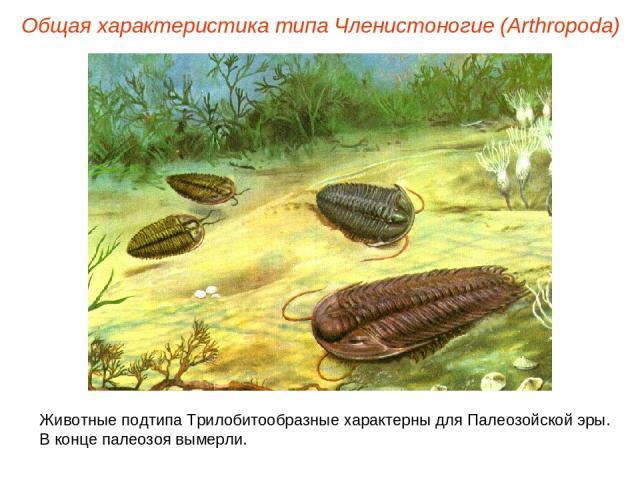 Общая характеристика типа Членистоногие (Arthropoda) Животные подтипа Трилобитообразные характерны для Палеозойской эры. В конце палеозоя вымерли.