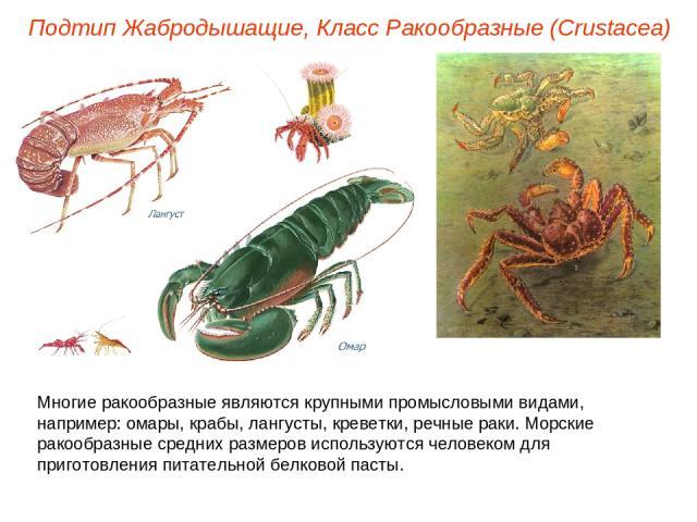 Подтип Жабродышащие, Класс Ракообразные (Crustacea) Многие ракообразные являются крупными промысловыми видами, например: омары, крабы, лангусты, креветки, речные раки. Морские ракообразные средних размеров используются человеком для приготовления пи…