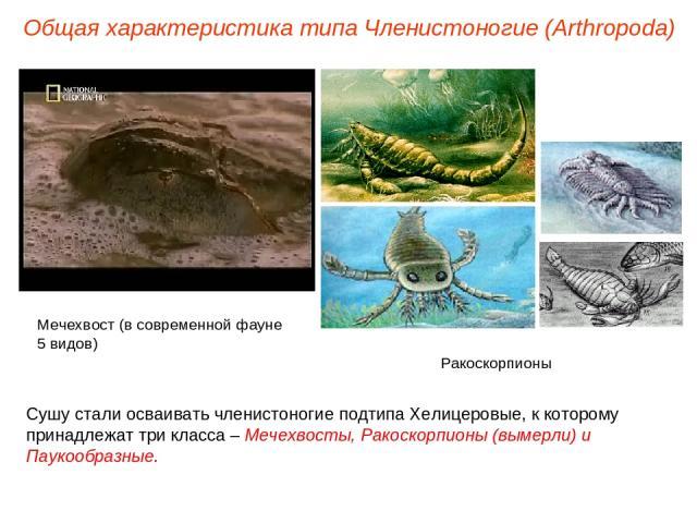Общая характеристика типа Членистоногие (Arthropoda) Сушу стали осваивать членистоногие подтипа Хелицеровые, к которому принадлежат три класса – Мечехвосты, Ракоскорпионы (вымерли) и Паукообразные. Ракоскорпионы Мечехвост (в современной фауне 5 видов)