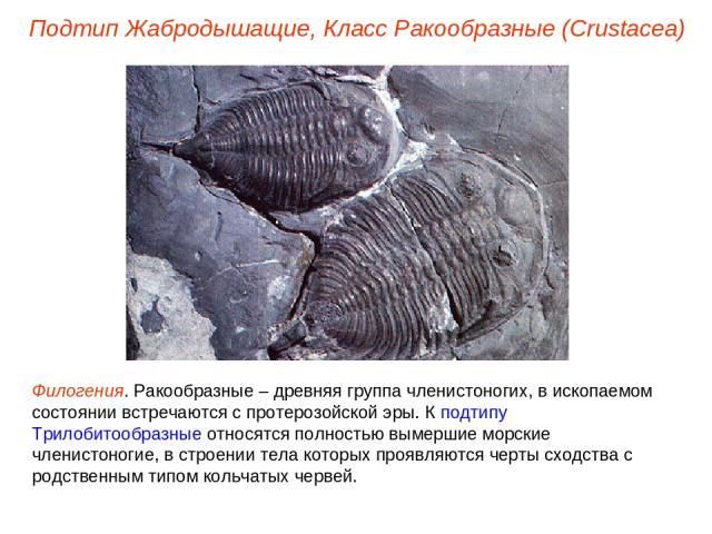 Подтип Жабродышащие, Класс Ракообразные (Crustacea) Филогения. Ракообразные – древняя группа членистоногих, в ископаемом состоянии встречаются с протерозойской эры. К подтипу Трилобитообразные относятся полностью вымершие морские членистоногие, в ст…
