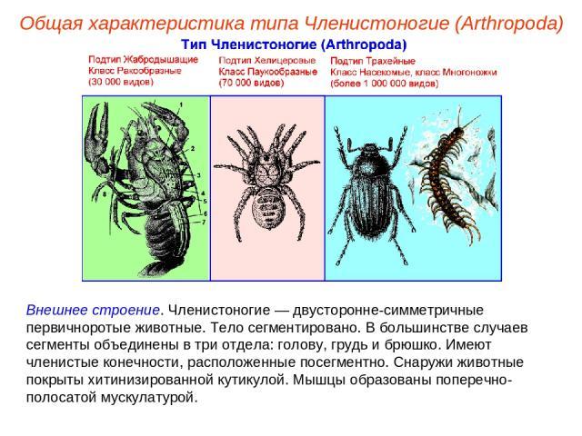 Внешнее строение. Членистоногие — двусторонне-симметричные первичноротые животные. Тело сегментировано. В большинстве случаев сегменты объединены в три отдела: голову, грудь и брюшко. Имеют членистые конечности, расположенные посегментно. Снаружи жи…