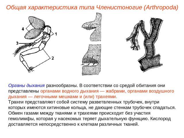 Общая характеристика типа Членистоногие (Arthropoda) Органы дыхания разнообразны. В соответствии со средой обитания они представлены органами водного дыхания — жабрами, органами воздушного дыхания — легочными мешками и (или) трахеями. Трахеи предста…