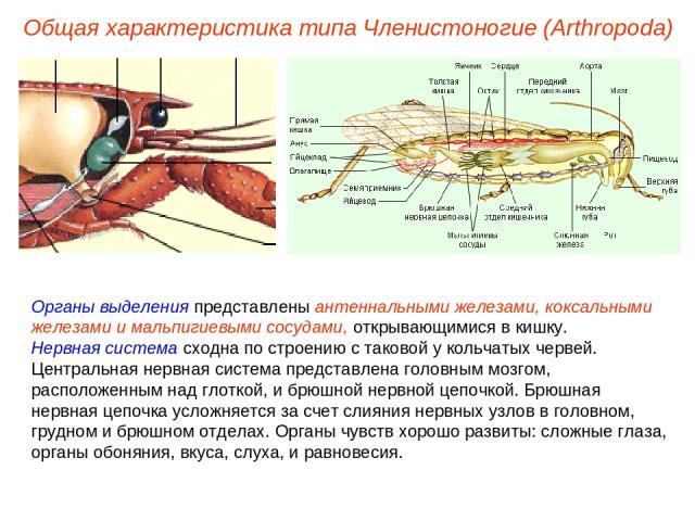 Органы выделения представлены антеннальными железами, коксальными железами и мальпигиевыми сосудами, открывающимися в кишку. Нервная система сходна по строению с таковой у кольчатых червей. Центральная нервная система представлена головным мозгом, р…