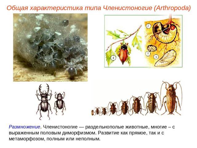 Размножение. Членистоногие — раздельнополые животные, многие – с выраженным половым диморфизмом. Развитие как прямое, так и с метаморфозом, полным или неполным. Общая характеристика типа Членистоногие (Arthropoda)