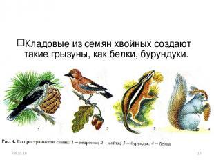 Кладовые из семян хвойных создают такие грызуны, как белки, бурундуки. * *
