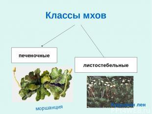 Классы мхов печеночные листостебельные моршанция Кукушкин лен