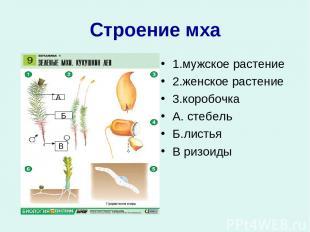 Строение мха 1.мужское растение 2.женское растение 3.коробочка А. стебель Б.лист