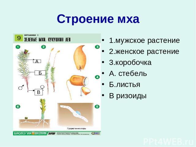 Строение мха 1.мужское растение 2.женское растение 3.коробочка А. стебель Б.листья В ризоиды А Б В