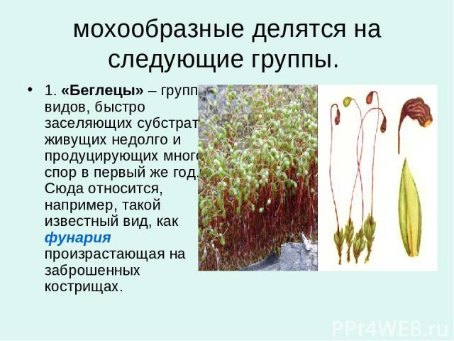мохообразные делятся на следующие группы. 1.«Беглецы»– группа видов, быстро заселяющих субстрат, живущих недолго и продуцирующих много спор в первый же год. Сюда относится, например, такой известный вид, какфунария произрастающая на заброшенных к…