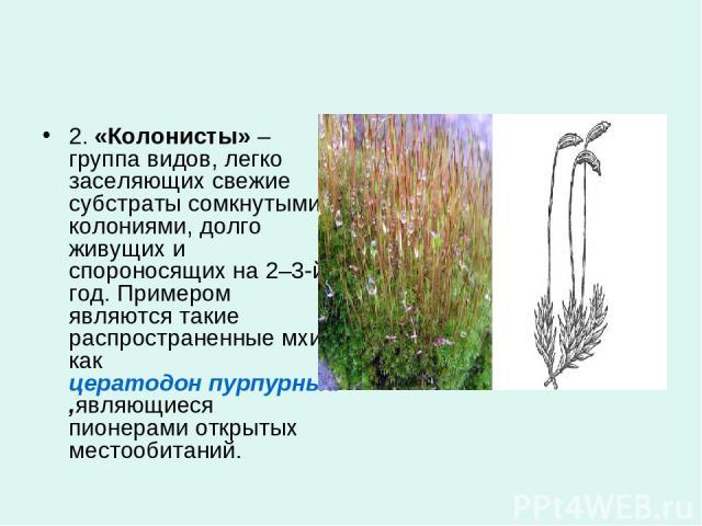 2.«Колонисты»– группа видов, легко заселяющих свежие субстраты сомкнутыми колониями, долго живущих и спороносящих на 2–3-й год. Примером являются такие распространенные мхи, какцератодон пурпурный,являющиеся пионерами открытых местообитаний.