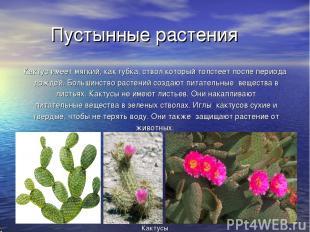 Пустынные растения Кактус имеет мягкий, как губка, ствол который толстеет после