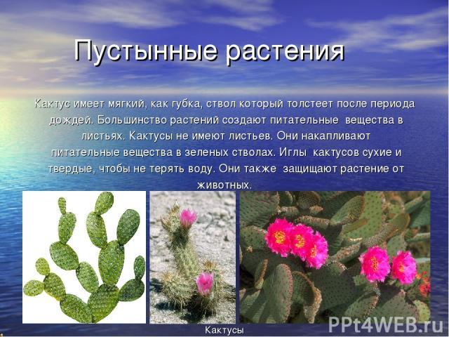 Пустынные растения Кактус имеет мягкий, как губка, ствол который толстеет после периода дождей. Большинство растений создают питательные вещества в листьях. Кактусы не имеют листьев. Они накапливают питательные вещества в зеленых стволах. Иглы какту…