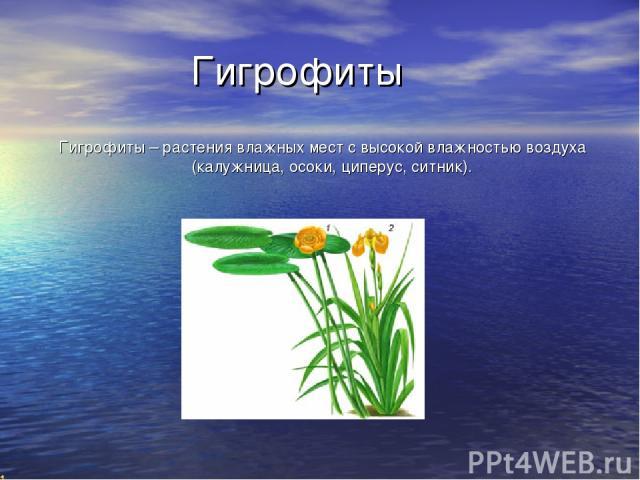 Гигрофиты Гигрофиты – растения влажных мест с высокой влажностью воздуха (калужница, осоки, циперус, ситник).
