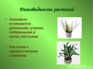 Разновидности растений Злаковые отличаются длинными, узкими, собранными в пучок