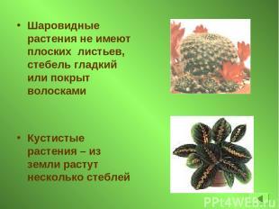 Шаровидные растения не имеют плоских листьев, стебель гладкий или покрыт волоска