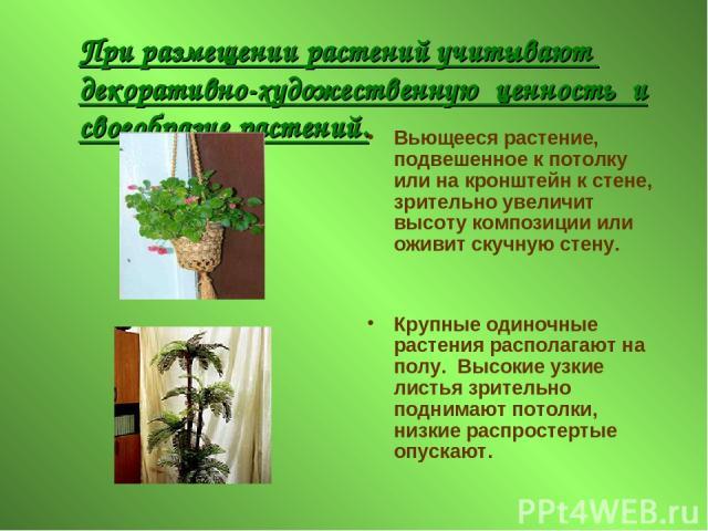 При размещении растений учитывают декоративно-художественную ценность и своеобразие растений. Вьющееся растение, подвешенное к потолку или на кронштейн к стене, зрительно увеличит высоту композиции или оживит скучную стену. Крупные одиночные растени…