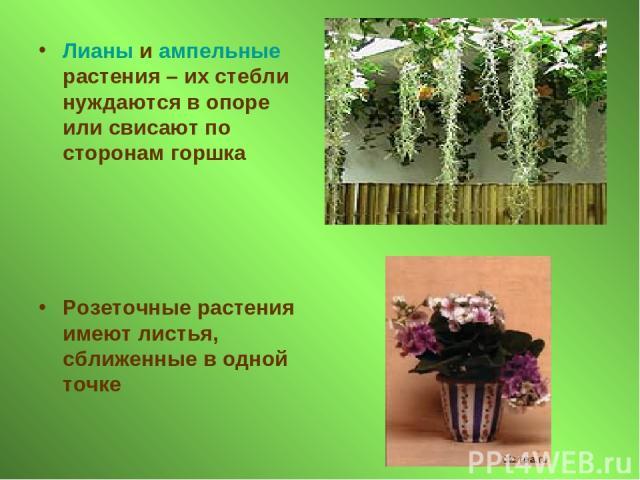 Лианы и ампельные растения – их стебли нуждаются в опоре или свисают по сторонам горшка Розеточные растения имеют листья, сближенные в одной точке