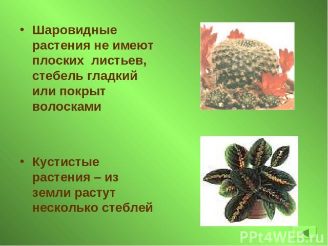 Шаровидные растения не имеют плоских листьев, стебель гладкий или покрыт волосками Кустистые растения – из земли растут несколько стеблей