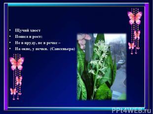 Щучий хвост Пошел в рост: Не в пруду, не в речке – На окне, у печки. (Сансевьера