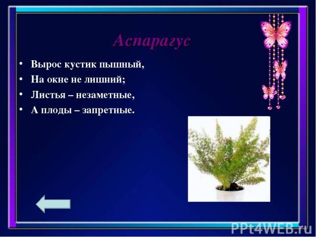 Вырос кустик пышный, На окне не лишний; Листья – незаметные, А плоды – запретные. Аспарагус