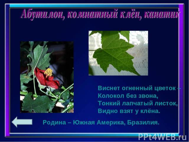 Виснет огненный цветок – Колокол без звона, Тонкий лапчатый листок, Видно взят у клёна. Родина – Южная Америка, Бразилия.