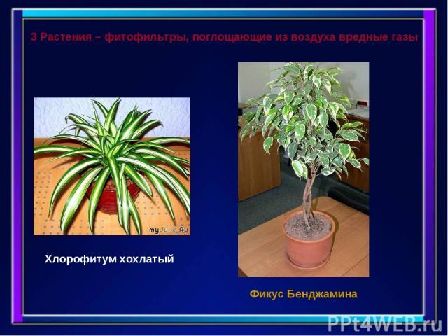 3 Растения – фитофильтры, поглощающие из воздуха вредные газы Хлорофитум хохлатый Фикус Бенджамина