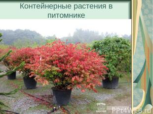 Контейнерные растения в питомнике
